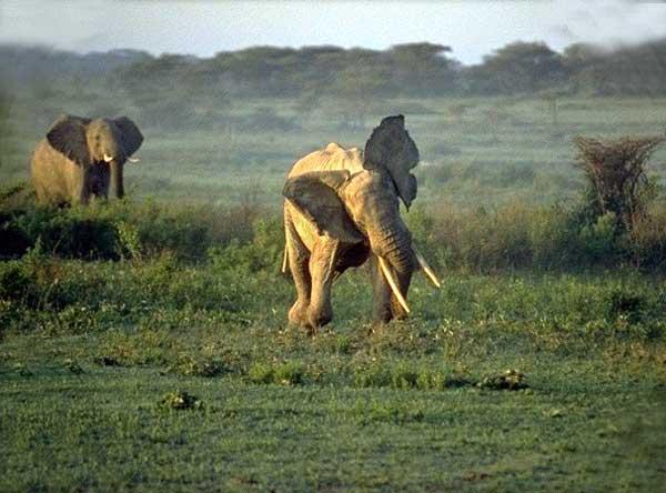 L'éléphant d'Afrique et d'Asie Elepha12