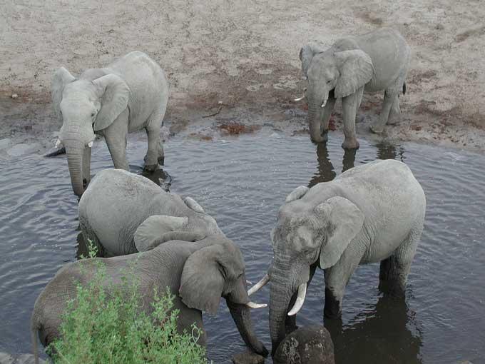 L'éléphant d'Afrique et d'Asie Elepha13