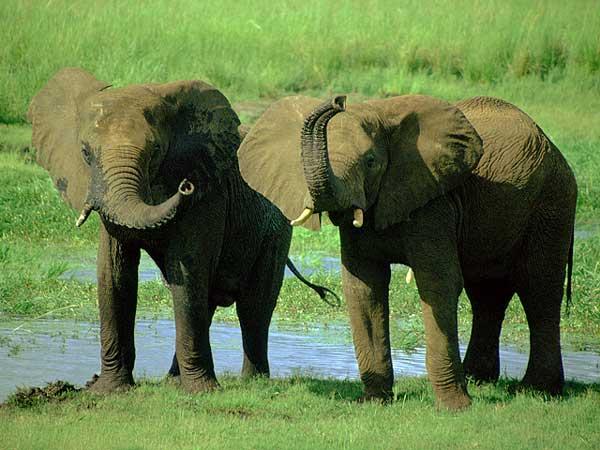 L'éléphant d'Afrique et d'Asie Elepha15
