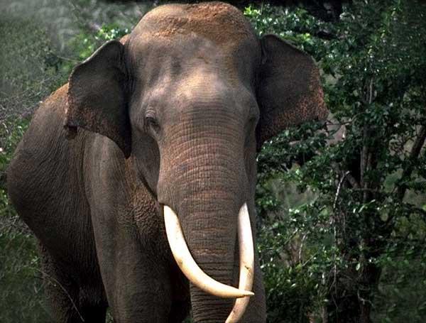 L'éléphant d'Afrique et d'Asie Elepha16