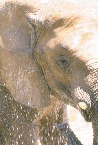 L'éléphant d'Afrique et d'Asie Elepha18
