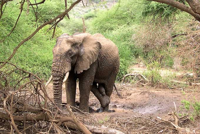 L'éléphant d'Afrique et d'Asie Elepha19