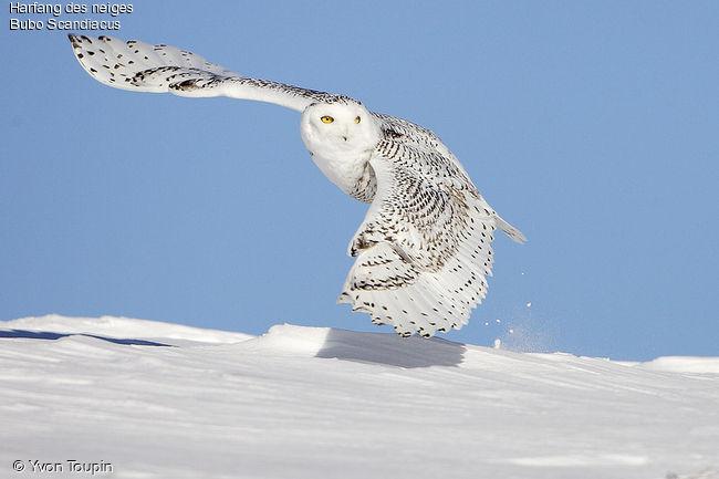 Le Harfand des neiges Harfan10