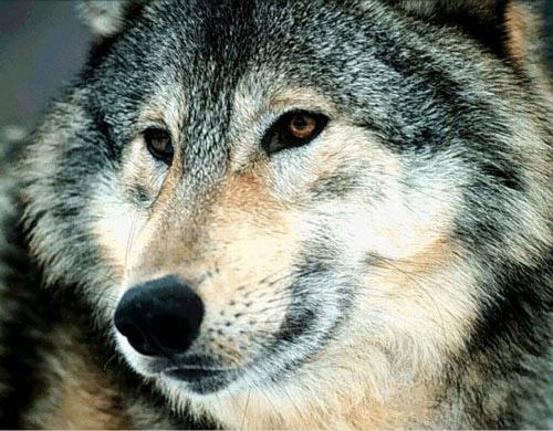 Le Loup Loup410