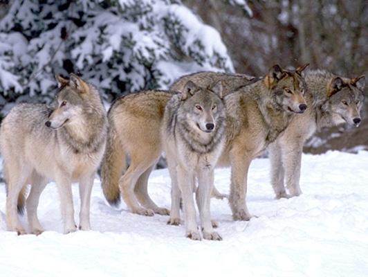 Le Loup Loups210