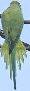 La perruche à collier Perruc15