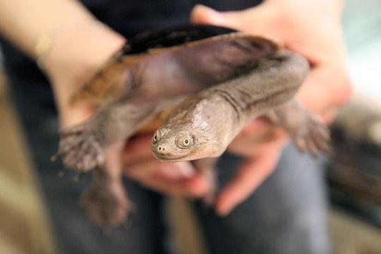 La tortue au cou de serpent Tortue10