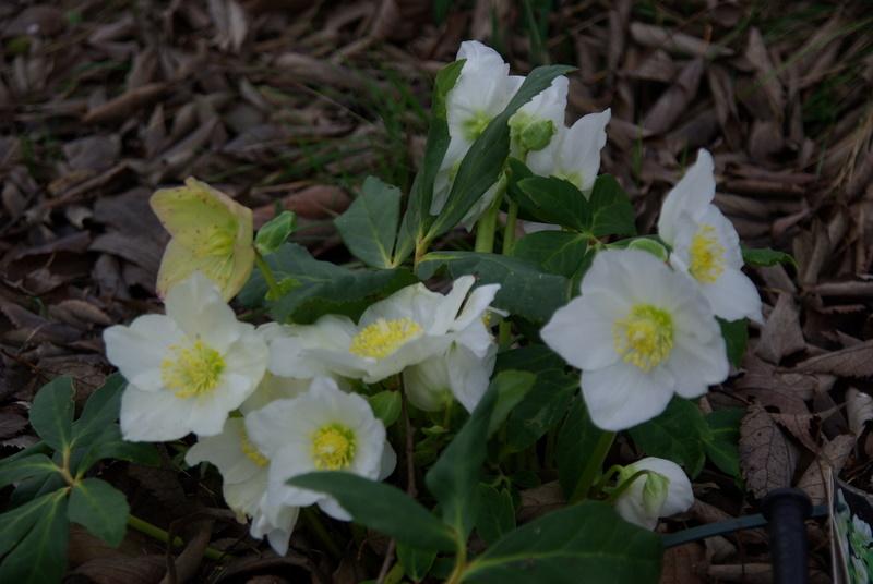 Floraisons de janvier Imgp2713