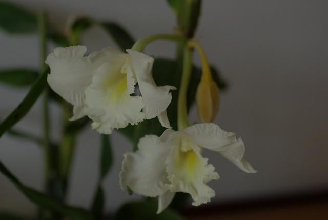 floraisons des orchidées - Page 22 Imgp4941