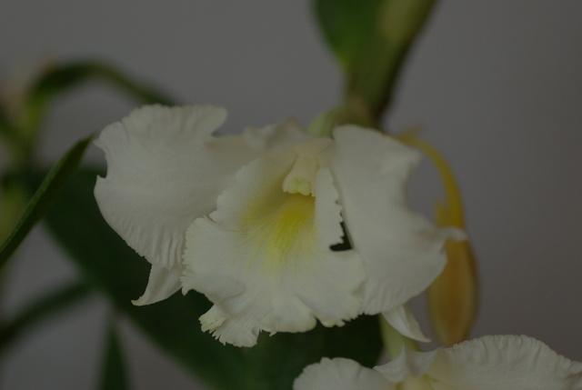 floraisons des orchidées - Page 22 Imgp4942