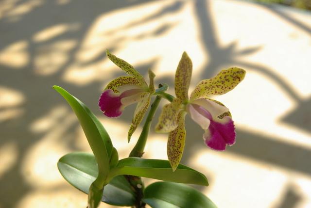 floraisons des orchidées - Page 22 Imgp5037