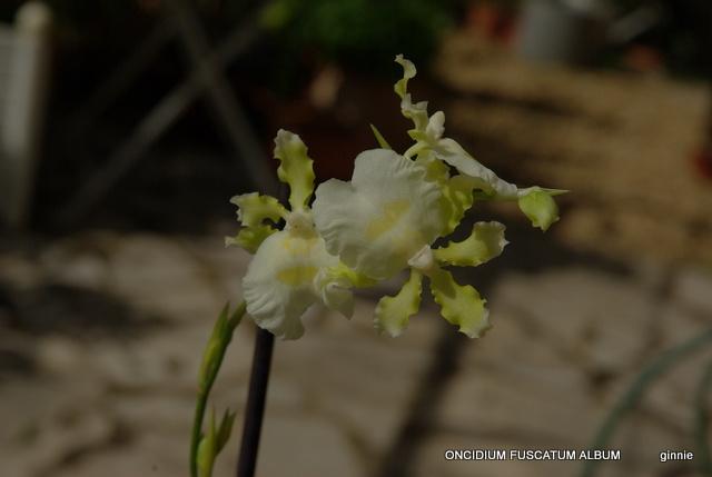 floraisons des orchidées - Page 22 Imgp5052