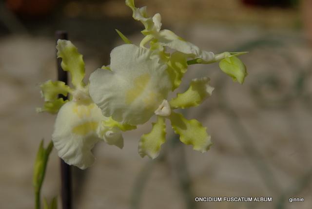 floraisons des orchidées - Page 22 Imgp5053