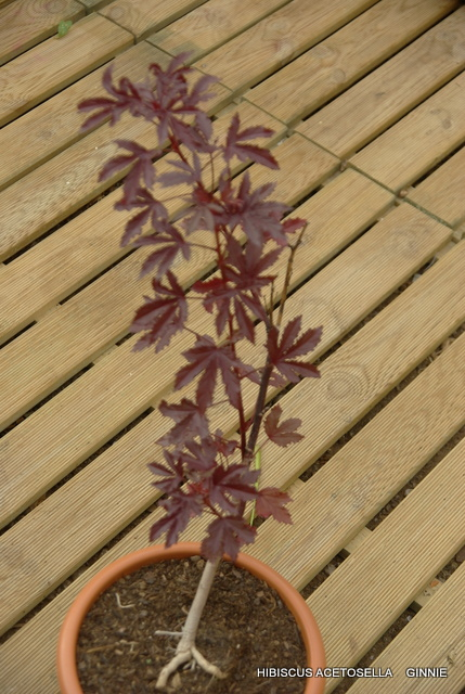 semis de graines d'hibiscus acetesolla Imgp5132