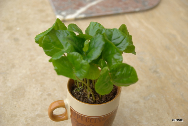 Le caféier  (Coffea arabica)-comme plante d'intérieur  Le caféier Imgp5134