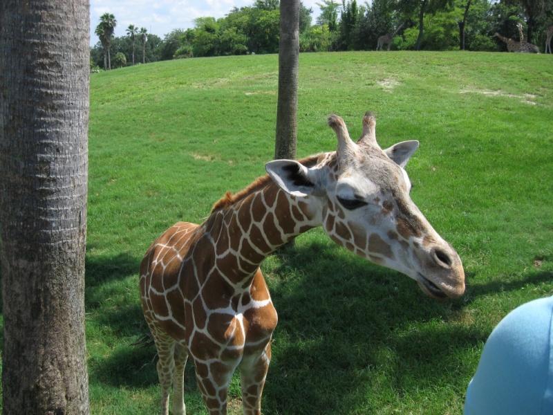 4 semaines floridiennes ... de folie(s)!! Ca c'était en 2008...  2016 c'est Le retour !  - Page 5 Girafe10