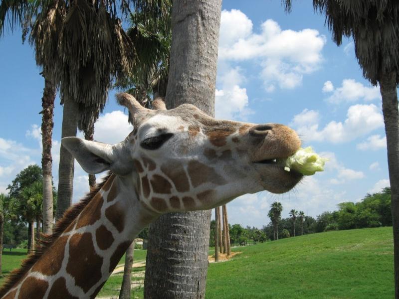 4 semaines floridiennes ... de folie(s)!! Ca c'était en 2008...  2016 c'est Le retour !  - Page 5 Girafe12
