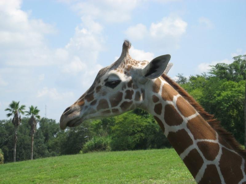 4 semaines floridiennes ... de folie(s)!! Ca c'était en 2008...  2016 c'est Le retour !  - Page 5 Girafe16
