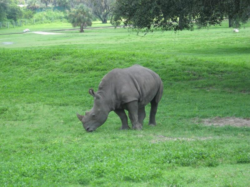 4 semaines floridiennes ... de folie(s)!! Ca c'était en 2008...  2016 c'est Le retour !  - Page 5 Rhino210