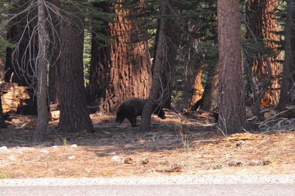 Sierra-bound Bear-i10