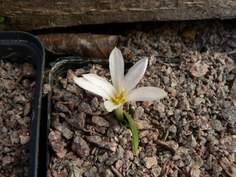 autres Colchiques de printemps (en hiver plutôt !!!) Colchi10