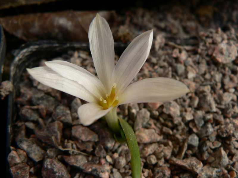 autres Colchiques de printemps (en hiver plutôt !!!) Colchi11
