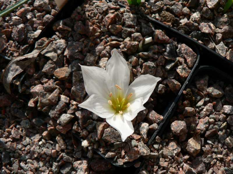 autres Colchiques de printemps (en hiver plutôt !!!) Colchi12