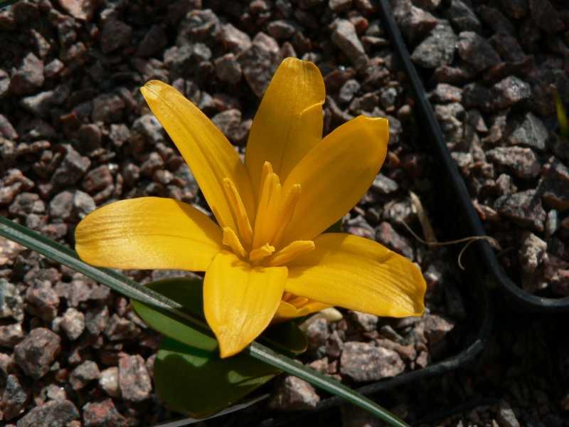 autres Colchiques de printemps (en hiver plutôt !!!) Colchi13