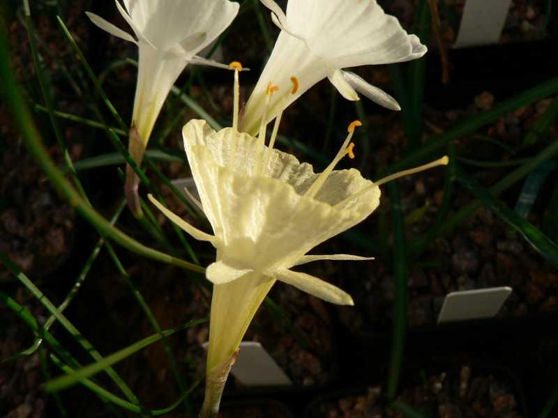 Narcissus 2008 Narcis13