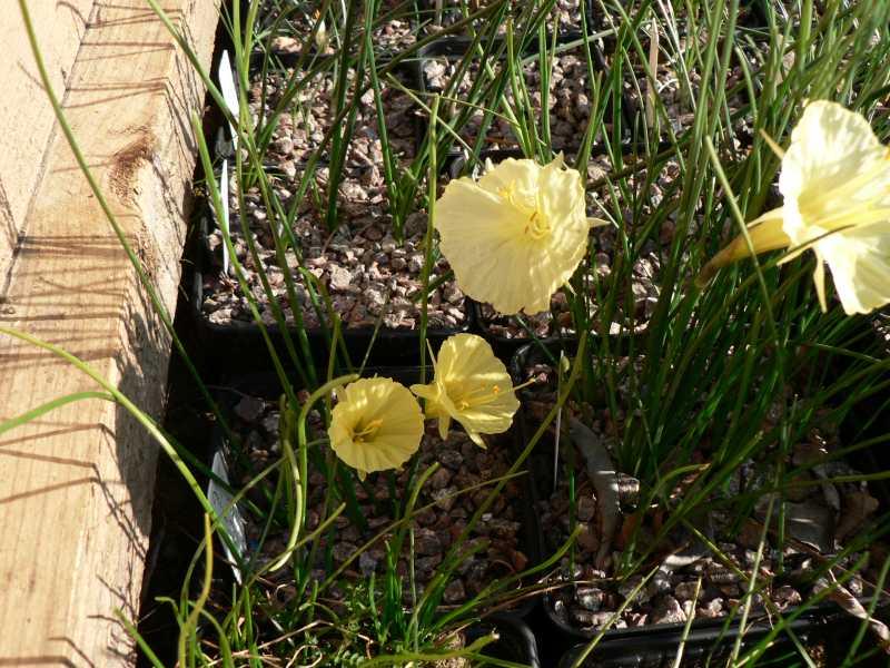 Narcissus 2008 Narcis17