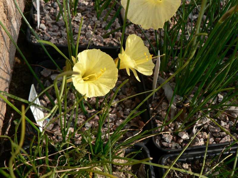 Narcissus 2008 Narcis18