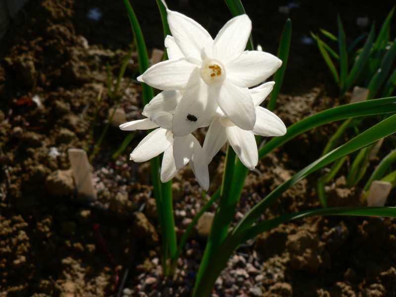 Narcissus 2008 Narcis22