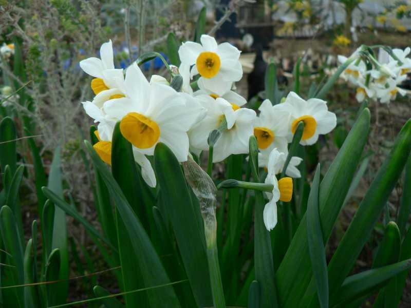Narcissus 2008 Narcis26