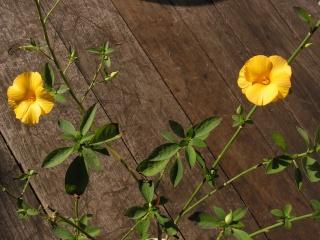 Une arbuste un peu frileux Pict0012