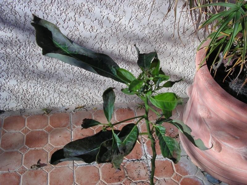 Arbres parfumés Marrakech Pict0015