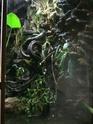 liane tropicale(entada gigas et rheedi) Aquate10