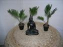 Cycas revoluta (Sagoutier) Cycasf10