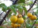 Fruits jaunes (Identifiée : Solanum atropurpureum) Sl272010