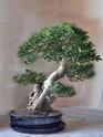 Ficus Retusa pour moi aussi Ficus_10