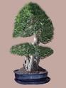 Ficus Retusa pour moi aussi Ficus_11