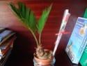Cycas revoluta (Sagoutier) Dsc00110