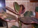 Vanilla planifolia P1230017