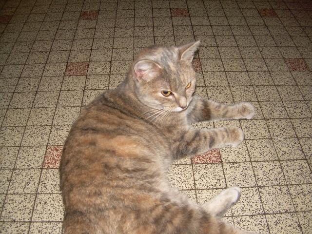 Jeune chatte, tigrée grise - ADOPTÉE Capuci10