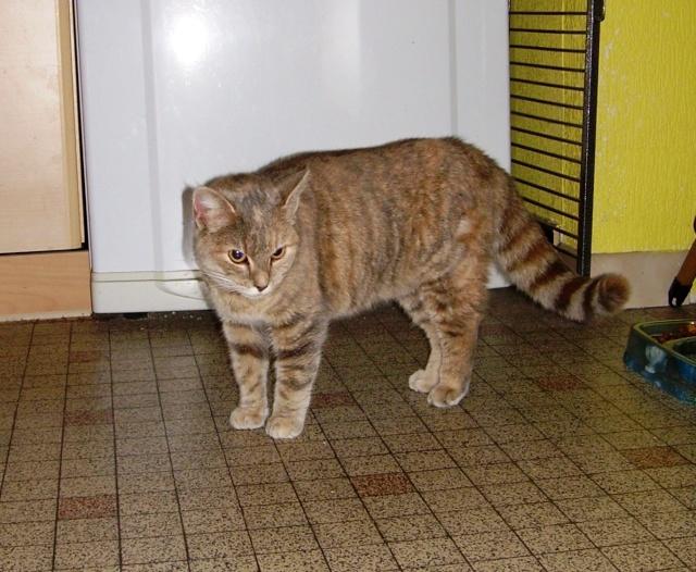 Jeune chatte, tigrée grise - ADOPTÉE Capuci11