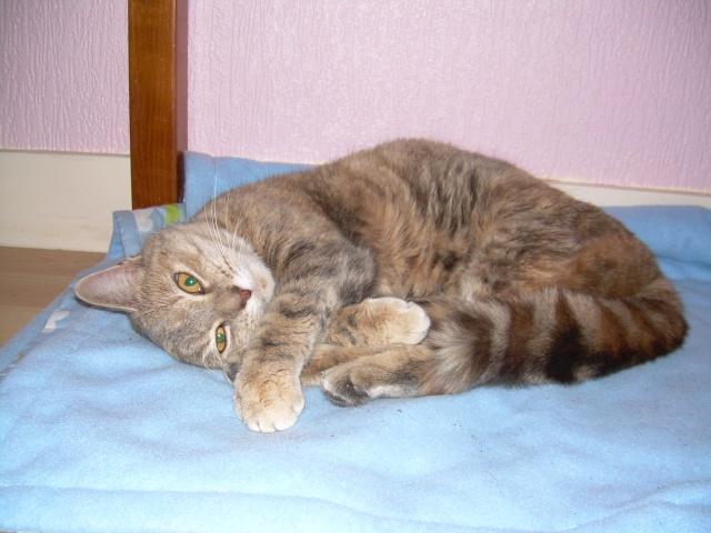 Jeune chatte, tigrée grise - ADOPTÉE Capuci15