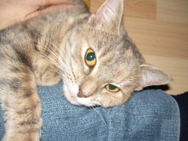 Jeune chatte, tigrée grise - ADOPTÉE Capuci16