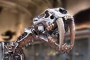 Le tigre à dents de sabre 353_2-10