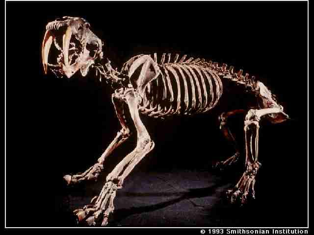 Le tigre à dents de sabre Smilod10