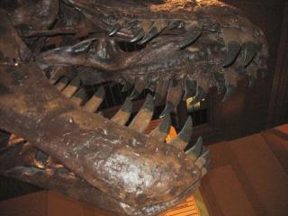 Le Tyrannosaure Tyrann13