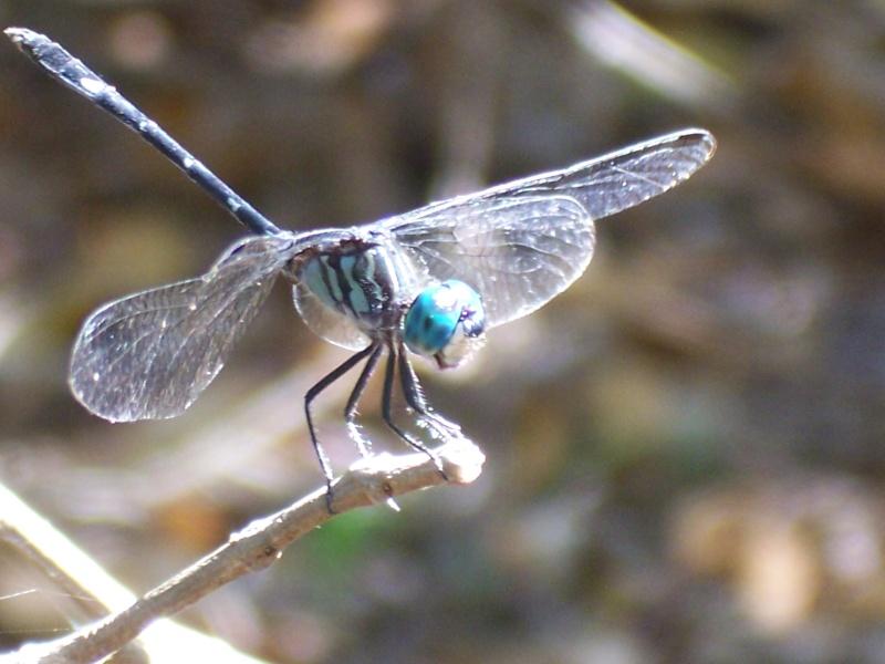 Odonates de la Martinique [Micrathyria didyma] 100_6114